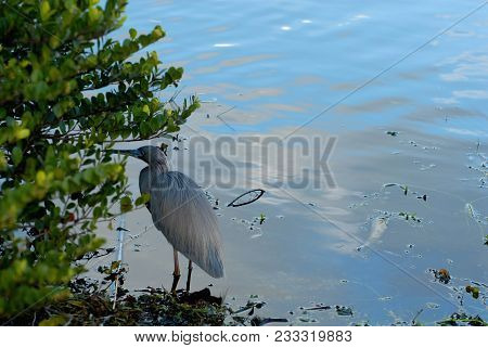 A Little Blue Heron At The Edge Of The Water In South Florida.