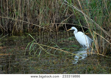 A Beautiful White Egret Hunting In Shallow Water In The Everglades National Park.