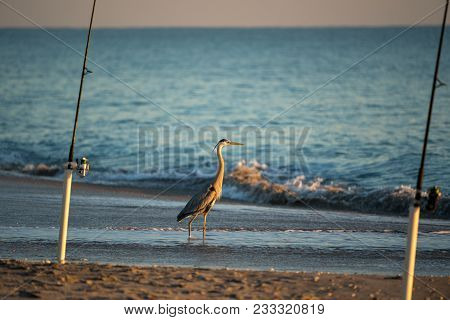 A Waiting Blue Heron Might Get Tossed A Fish That Is Unwanted
