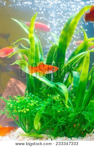 Little Red Fish With Green Plant In Fish Tank Or Aquarium Underwater Life.