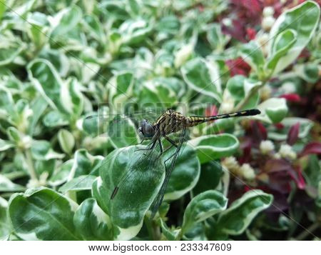 The Son Of A Dragonfly Is Found Standing On A Leaf, Like A Helicopter Is Landing