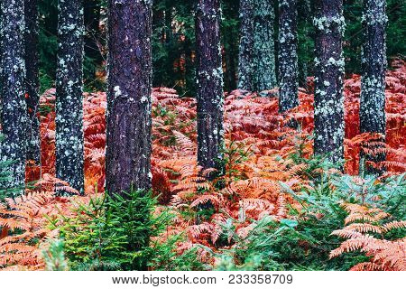 Colorful Fall Season Pine Dark Creepy Forest. Photo Depicting Autumn Misty Pine Tree Backwoods, Red