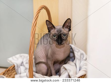 Cat Sitting In The Basket And Looking Straight Into The Camera, Bald Cat Canadian Sphynx, Pet, Hairl