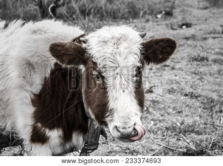 A Cow In The Field Put Out One`s Tongue. Fun And Unique Photo Of A Horned Cow In The Field. Horned B