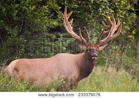 Wild Antlered Bull Elk Or Wapiti (cervus Canadensis) Grazing, Crossing The Road In Banff National Pa