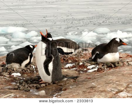 Gentoo Penguins, Singing And Nesting