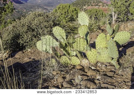 A Healthy Prickly Pear Cactus By A Trail Near Sedona