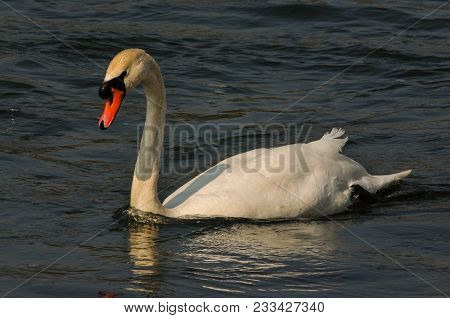 Mute Swan In The Evening Light