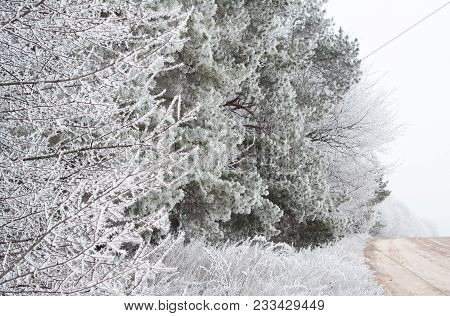 Countryside Road With Frozen Pine Trees Branches With Beautiful Hoarfrost.