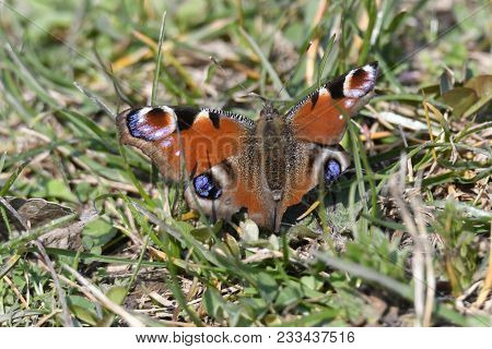 Butterfly Inachys Io Rest In The Meadow