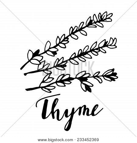 Hand Drawn Thyme Plant With Leaves Isolated On White Background. Vintage Spicy Herbs Sketch. Doodle