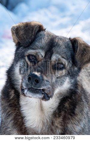 Portrait Of A Stray Dog Of Gray Mongrel Close-up
