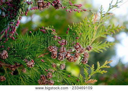 Photo Depicting A Branch Of Juniper Blossoming In Springtime, Fruiting. New Fresh Brunches Of Evergr
