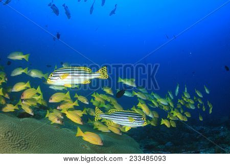 Fish school coral reef. Snapper fish