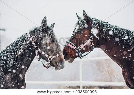 Father And Son English Horse Orlov Trotter Detour Of English Race Horse In An Winter Sunny Day Pureb