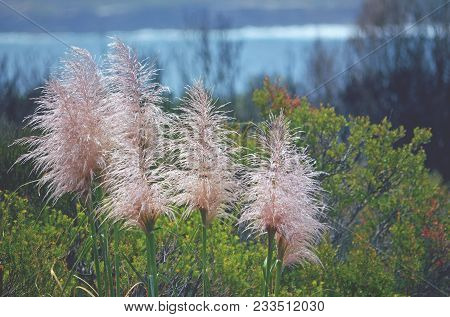 Pink Pampas Grass Flower Heads, Cortaderia Jubata, Growing In Kamay National Park, Cape Solander, Ns