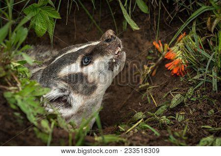 North American Badger (taxidea Taxus) Snarls Up Close - Captive Animal