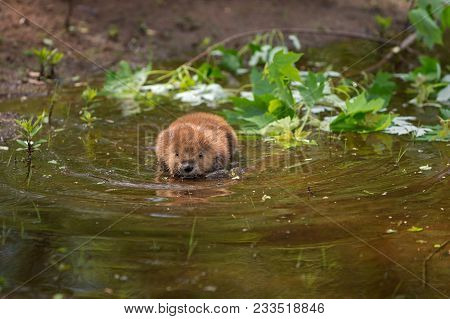 North American Beaver (castor Canadensis) Kit Swims Through Shallow Water - Captive Animal
