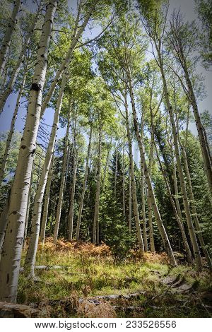 Quaking Aspens And Ferns In The Coconino National Forest Along The Kachina Trail Near Flagstaff Ariz