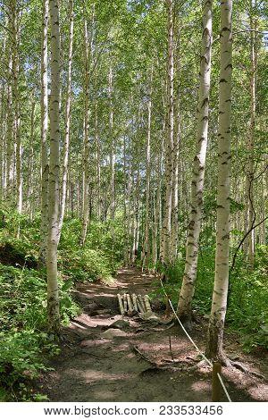 Inje Birch Forest