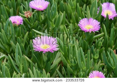 Carpobrotus Glaucescens. It Is A Species Of Flowering Plant In The Ice Plant Family. It Is Commonly