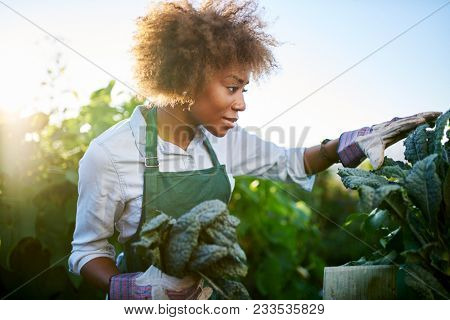 african american woman tending to kale in communal urban garden