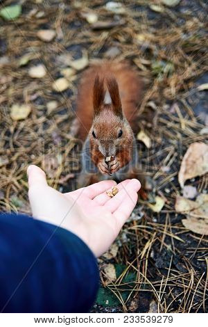 Hungry Squirrel Eating Nuts From Man Hand With Autumn Leaves On Background. Wild Nature Animal. Pers