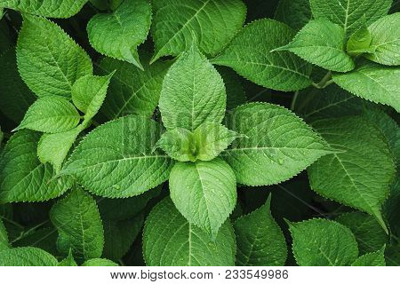 Green Leafs Of Hydrangea With Raindrops. View From Above. Nature Background. Green Leafs Of Hydrange