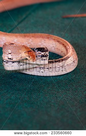 Poisonous Snake Coiled Up And Prepared To Attack. Concept Threat To Life From Poisonous Reptiles. Ve