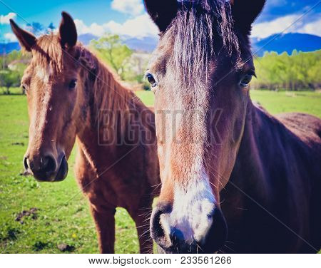 Photo Depicts Two Beautiful Lovely Brown White Horse Gazing On A Horse Yard. Two Beautiful Young Bro