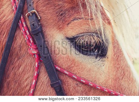 Horizontal Photo Depicts A Beautiful Lovely Dark Brown Horse Gazing On A Horse Yard. Horse Face Clos