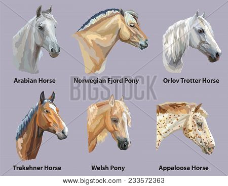 Set Of Portraits Of Horses And Pony Breeds (trakehner Horse, Welsh Pony, Orlov Trotter, Arabian Hors