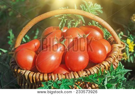 Fresh Ripe Red Red Pear Tomatoes In A Basket On The Garden