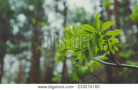 Photo Depicting A Macro Spring View Of The Tree Brunch With Fat Green Fresh Lovely Leaves Buds. Wild