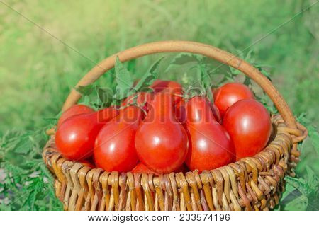 Fresh Ripe Red Pear Tomatoes In A Basket On The Garden