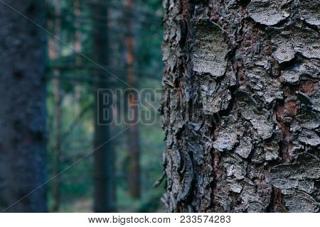 Thee Trunk Closeup, Mystical Pine Woods On The Background. Pine Tree Bark Macro View, Blurred Foggy