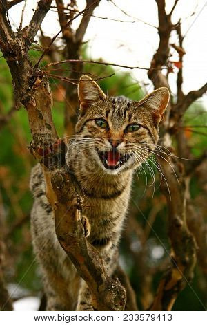 Portrait Curious Scottish Wild Cat (felis Silvestris Grampia) Hunting In Tree. Three-colored Wild Ca