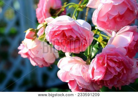 Summerhouse covered with roses, arch surrounded by roses. Beautiful pink roses in the garden with bokeh. Beautiful red roses for the calendar. Bouquet of roses. Roses on the bushes. Landscaping. Care of garden roses shrubs