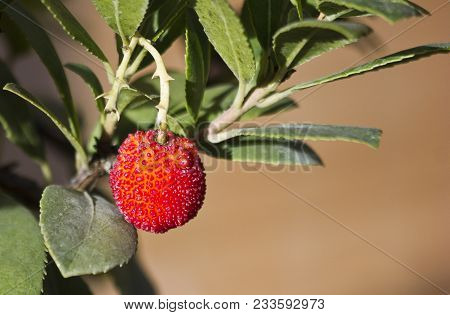 Strawberry Bonsai Tree - Corbezzoli Sullalbero. Strawberry Tree (arbutus Unedo) Evergreen With Matur
