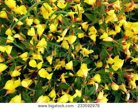 Oenothera Or Evening Primrose Flower (oenothera Biennis) Background. Yellow Flowes Evening Primrose