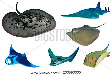Ray collection isolated on white. Marbled, Guitar, Jenkin's, Manta, Eagle and Bluespotted Rays. Stingrays and sharks
