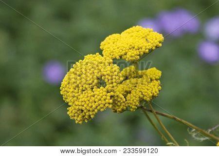 Common Yarrow Or Milfoil (achillea Millefolium) Flower Head. Delicate Yellow Field Plant. Blooming A