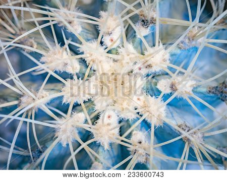 Abstract Background Of Cactus Close Up. Echinocactus Grusonii Spineless Form. Spine Detail Of Big Ca