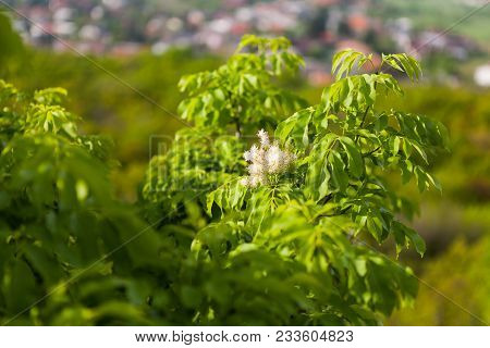 Fraxinus Ornus Branch With Green Leaves And White Flowers