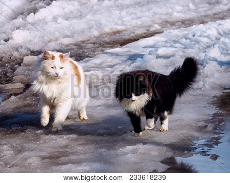 Two Cute Fluffy Cat Together Walking On Melting Snow. Black And White Two Cats On Early Spring Walk.