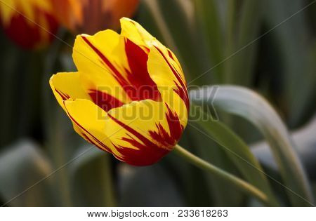 Close-up Fluffy Red-yellow Stripped Tulips In City Field. Bulbous Field Red Yellow Tulips Bright Flo