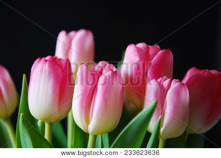Closeup Of A Bunch Pink Tulip Flowers