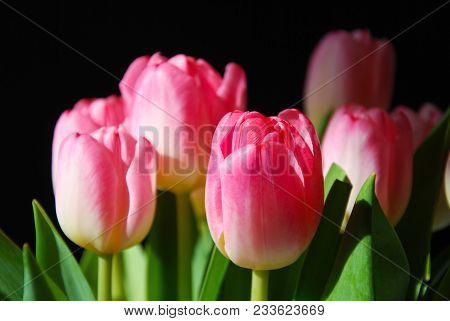 Spotlight Of A Boquet With Pink Tulip Flowers