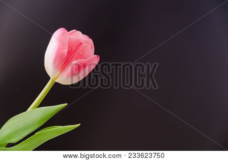 Single Pink Tulip Flower Closeup With A Black Background
