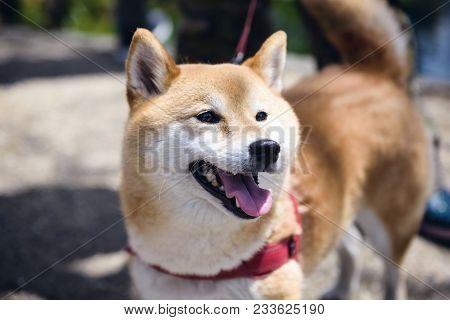 Adorable Akita Inu Puppy Dog